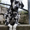 Tea, la mia bellisima dalmata - Tea, my beautiful dalmatian