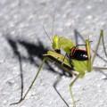 La mantide, mentre mangia un altro insetto - Prayng mantis eating a bug