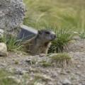 Un cucciolo di marmotta molto curioso! - A very curious marmot puppy!